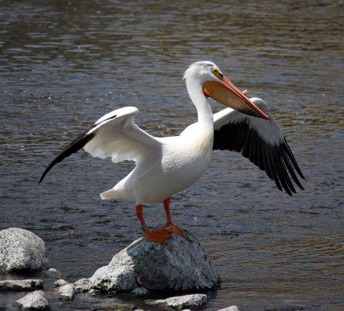 pelican,ruožas,Rokas,lapės upė,appleton,Viskonsinas,paukštis,laukinė gamta,gamta,vanduo,sparnai,gražus,mielas,natūralus,elegantiškas,ištemptas,aplinka,žuvis,nustatymas,aplinka