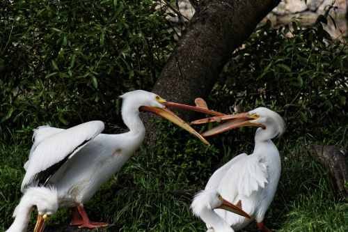 Pelican Argument