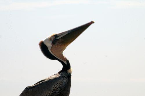 Pelican Looking Up