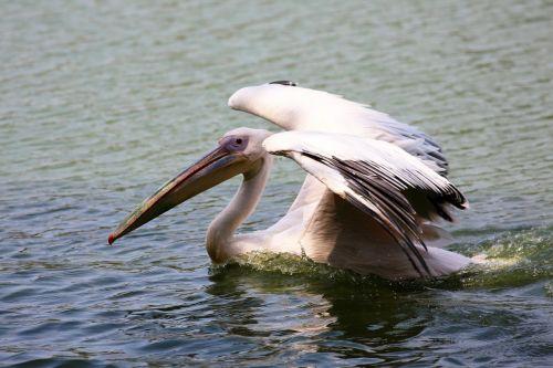 pelican swimming in lake bird giant