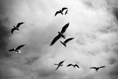 birds flock black and white