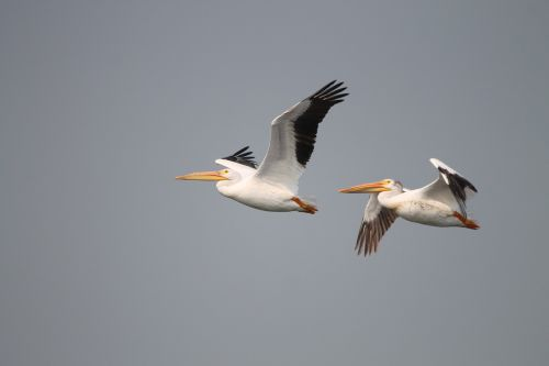 pelicans fly birds