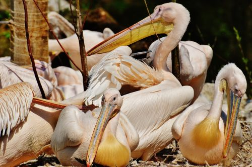 pelicans birds bill
