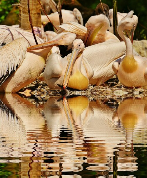 pelicans birds mirroring
