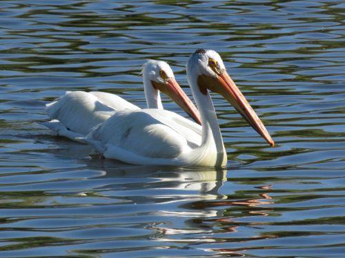 pelicans lake nature