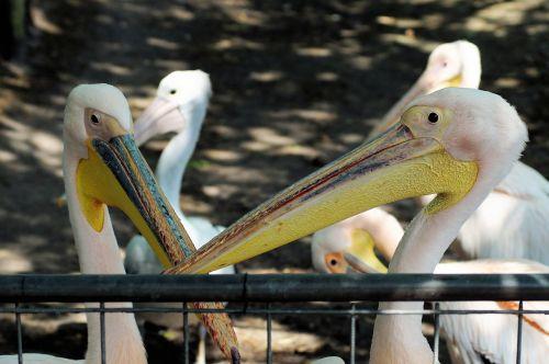 pelicans pelecanus conspicillatus pelican