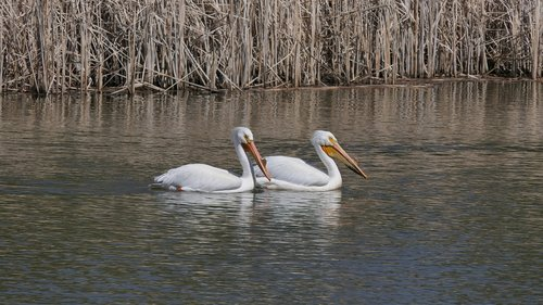 pelicans  water birds  fowl