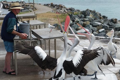 pelicans feeding natural