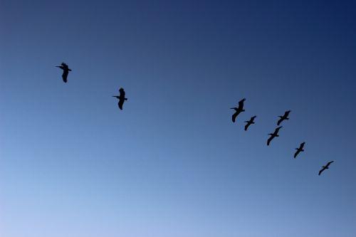 pelicans flight landscapes