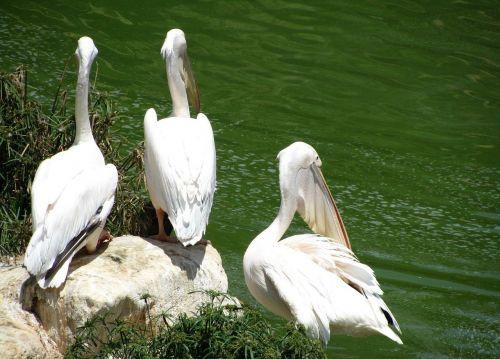 pelicans bird pelecanus