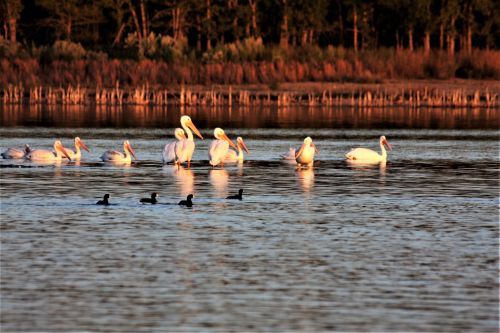 Pelicans And Coot In Fall