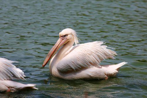 pelicans swimming in lake bird giant