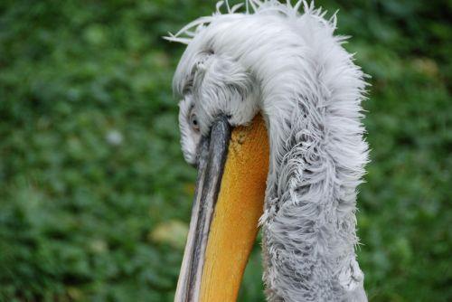 pelikan bird bill