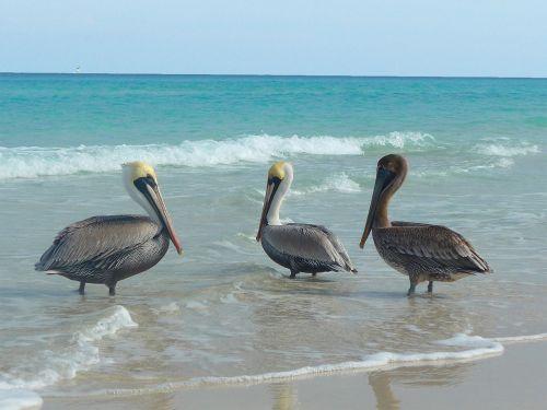 pelikan bird sea