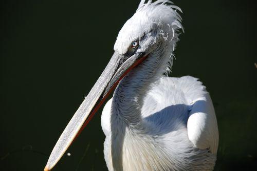pelikan water bird animal