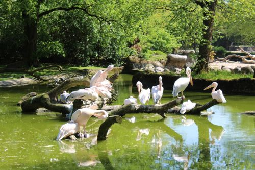 pelikan zoo hamburg