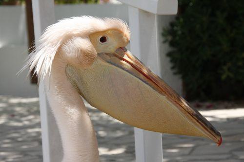pelikan bird noun