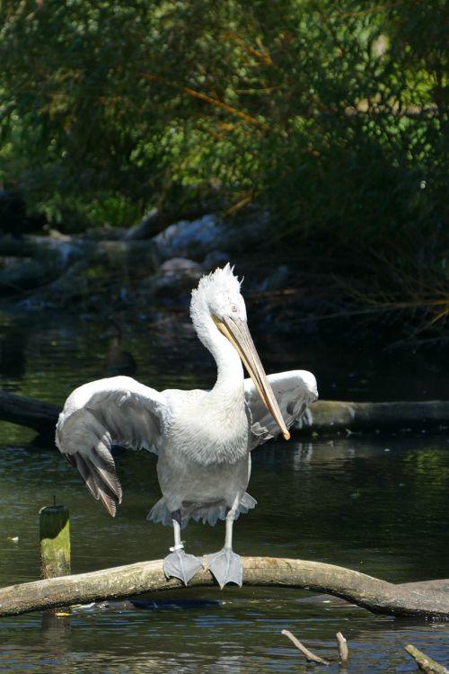 pelikan water wing