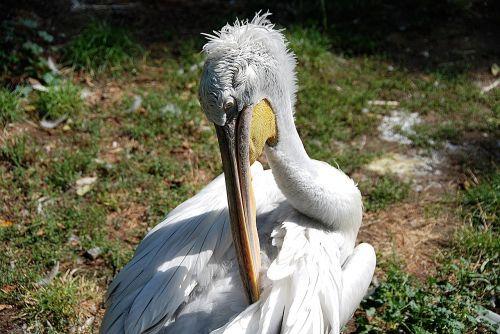 pelikan clean water bird