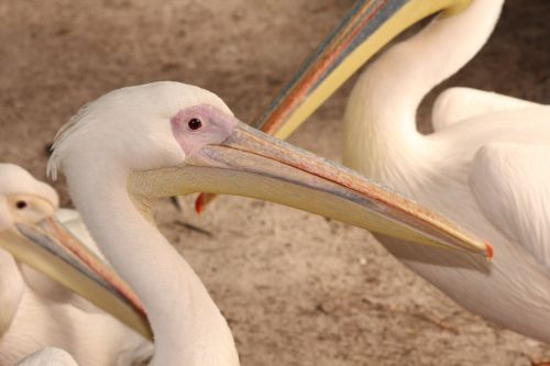 pelikan bird zoo