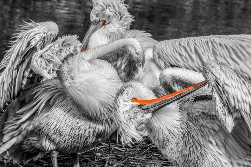 pelikan bird water bird