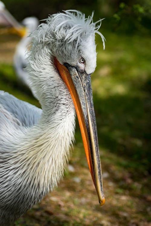 pelikan lennon dalmatian pelican