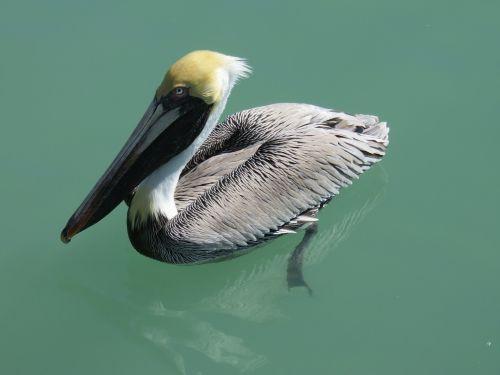 pelikan water bird nature