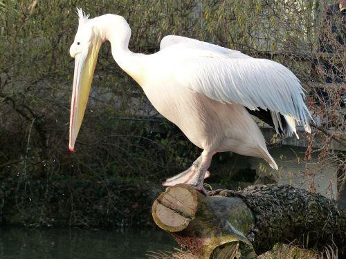 pelikan bird white