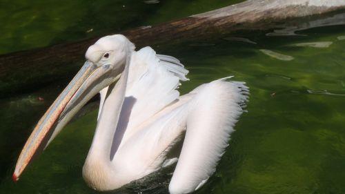 pelikan bird animals