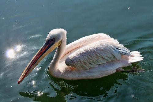 pelikan bird bird park