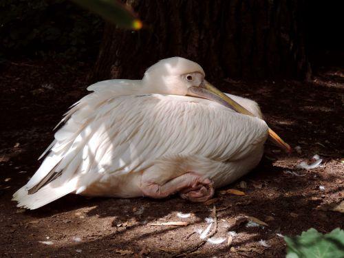 pelikan white pelican pelecaniformes
