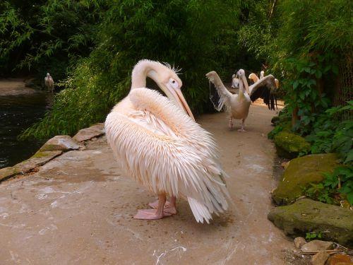 pelikan white pelican water bird
