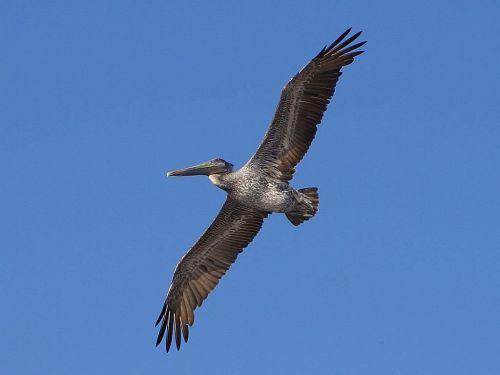 pelikan wing span