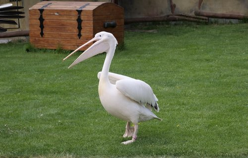 pelikan  white pelican  large beak