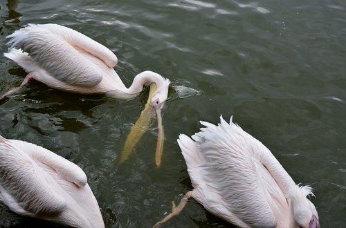 pelikan  zoo  nature
