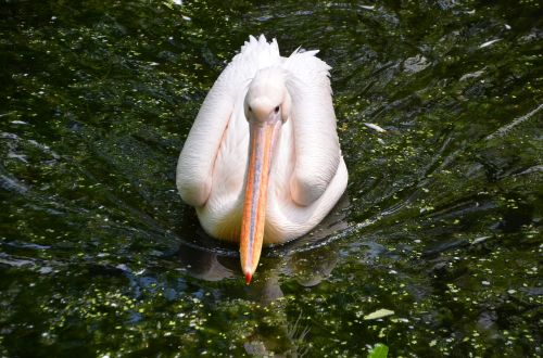 pelikan animal bird
