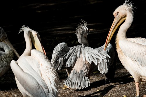 pelikan  bird  animal