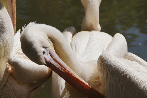 pelikan plumage clean