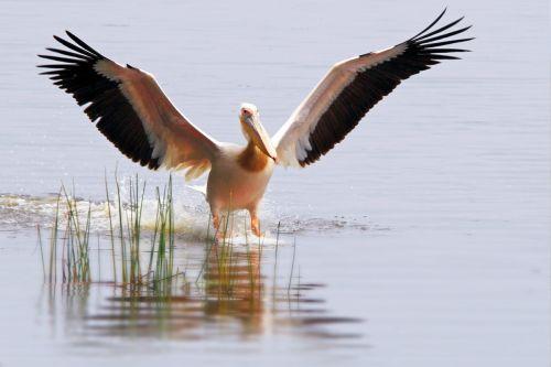 pelikan africa safari