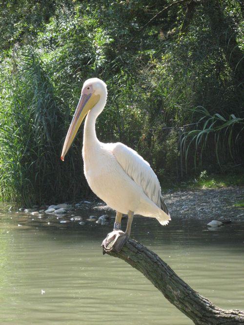 pelikan basel zoo