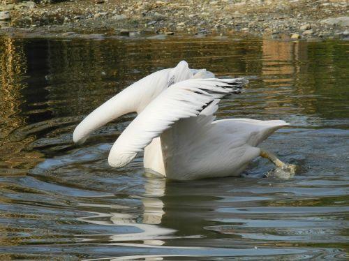 pelikan water mirroring