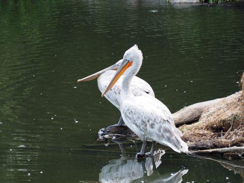 pelikan zoo water bird