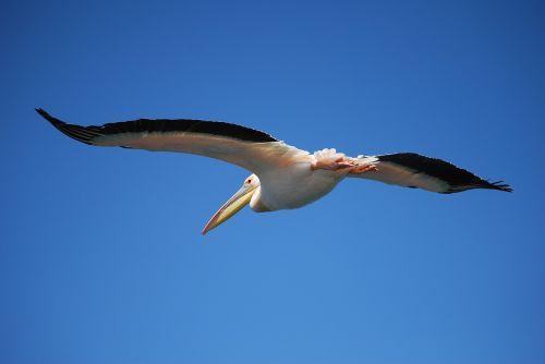 pelikan fly bird