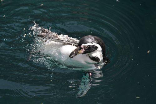 penguin water swim