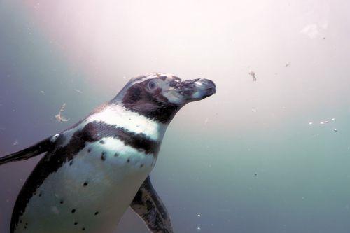 penguin water bird