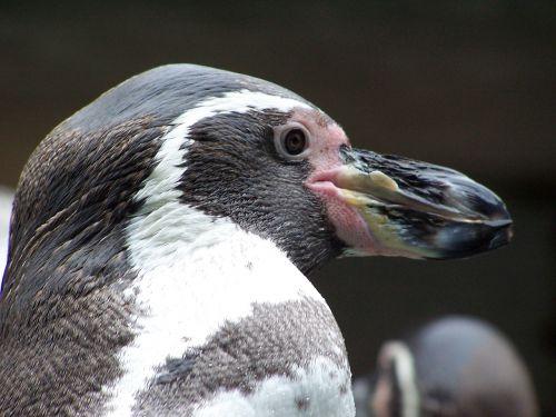 penguin animals humboldt penguin