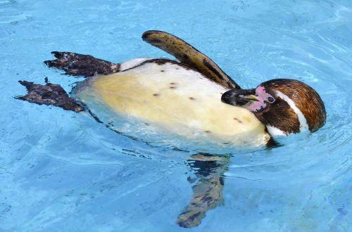 penguin humboldt penguin glasses penguin