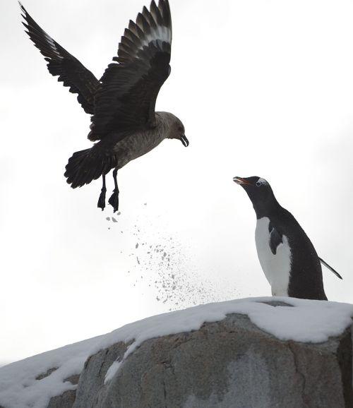 penguin demonstrate ice