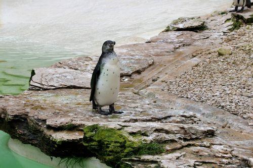 penguin flightless bird flightless