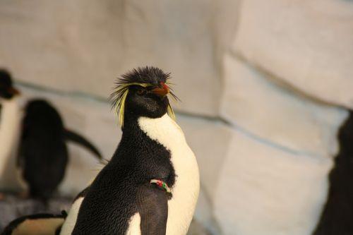 penguin rockhopper penguin southern rockhopper penguin